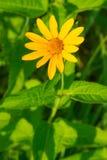 False Sunflower - Heliopsis helianthoides. Close up of a yellow False Sunflower. Rouge National Urban Park, Toronto, Ontario, Canada Royalty Free Stock Image