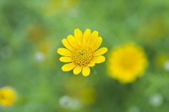 Close up yellow flowe Royalty Free Stock Images