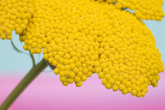 Close-up of yellow flower Royalty Free Stock Image
