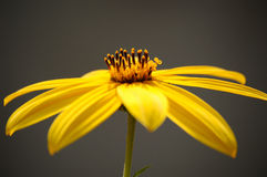 Close up of a yellow flower. In fall with dark background Stock Photo