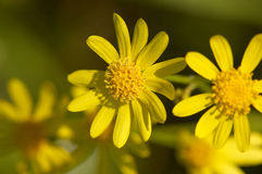 Close-up of yellow flower Royalty Free Stock Images