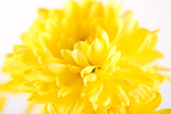 Close up of yellow flower aster Stock Images