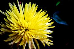 Close-up of a yellow flower. Close-up of a beautiful yellow flower and black background royalty free stock images