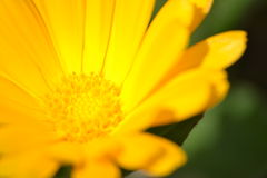 Close up of yellow flower Royalty Free Stock Images
