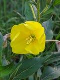 Close up of yellow flower evening primrose royalty free stock photo