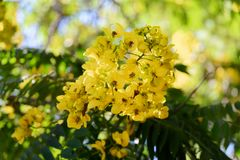 Close-up of yellow flower on a tree. In Jardim Botanico garden on Portuguese island of Madeira royalty free stock photography