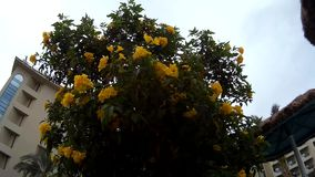 Close up of yellow flower tree tecoma in a hotel stock footage close up of yellow flower tree tecoma in a hotel mightylinksfo Gallery
