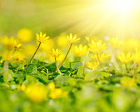 Close up of yellow flowers Stock Images