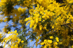 Close-up of yellow flowers on Acacia Tree Royalty Free Stock Photo