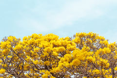 Close up yellow flowers blossom in spring time on sky background. Royalty Free Stock Image