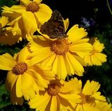 Close-up with yellow flowers and a butterfly on a dark background. royalty free stock image