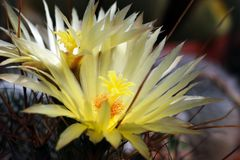 Yellow flowers of Leuchtenbergia Principis cactus. Close up of the yellow flowers of the Leuchtenbergia Principis cactus stock photos