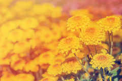 Close-up of yellow flowers with soft-focus in sun light use filter Royalty Free Stock Photos