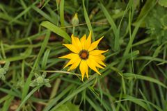 Close up of a yellow gazania flower from the daisy family, Asteraceae, top view, background of green grass in the garden stock images