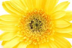 Close up of yellow gerber daisy Royalty Free Stock Photo
