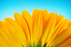 Close-up of yellow gerbera daisy backside  on blue Stock Photo