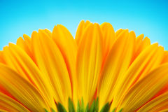 Close-up of yellow gerbera daisy backside isolated on blue Stock Photo