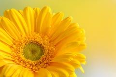 Close up yellow gerbera Stock Image
