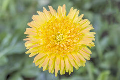 Close up yellow gerbera flower for background. Royalty Free Stock Photo