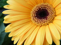 Close-Up of Yellow Gold Gerber Daisy Flower Blossom Bloom. Bloom blossom close daisy defined flower gerber gold petal pure vibrant yellow royalty free stock photography