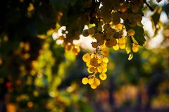Yellow grapes in a vineyard at sunset. Close up of yellow grapes in a vineyard at sunset royalty free stock image