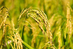 Close up of yellow green paddy rice field Royalty Free Stock Image