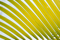 Close up yellow green palm leaf nature abstract background Royalty Free Stock Image