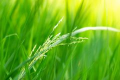 Close up of yellow green rice field. stock photos