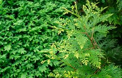 Close-up yellow-green texture of leaves western thuja Thuja occidentalis Aurea on blurred boxwood Buxus sempervirens background