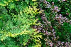 Close-up yellow-green texture of leaves western thuja with purple foliage of barberry Berberis thunbergii Atropurpurea