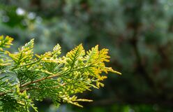 Close-up yellow-green texture of leaves western thuja with raindrops on blurred with bokeh green background