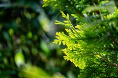 Close-up yellow-green texture of needles western thuja with raindro
