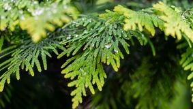 Close-up yellow-green texture of needles western thuja with raindrops on blurred with bokeh green background