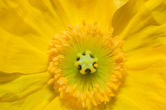 Close up of a yellow Iceland poppy flower Royalty Free Stock Images