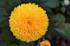 Close up of yellow Inca marigold or Culcutta Zendu, Pune. Close up of yellow Inca marigold or Culcutta Zendu at Pune Stock Images