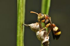 Close up of yellow jacket wasp. Close yellow jacket wasp insect macro sting royalty free stock photos