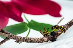 Close up of yellow jackets on a branch set on a plate. Close up of yellow jackets on a branch set on a white floral plate stock images