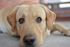 Close-up of the yellow labrador retriever. Yellow labrador with big, sad eyes lying on the ground. Close-up photo Stock Photo