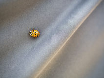 Close up on yellow ladybird beetle on gray background Stock Photography