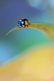 Close up of an yellow ladybug Royalty Free Stock Images