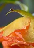 Close up of an yellow ladybug Stock Photos