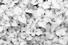 Close up of yellow leafs as background, back and white photo Royalty Free Stock Image