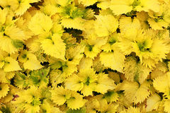 Close up of yellow leafs, background Stock Photography