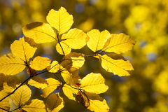 Close up of yellow leaves Royalty Free Stock Photo