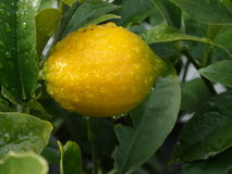Close-up of a yellow lemon wet from the rain. Close up of a fresh yellow lemon growing on a tree right after the rain Royalty Free Stock Photo