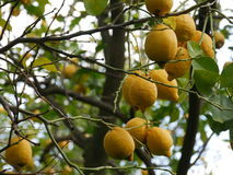 Close up of yellow lemons ripening on a tree Royalty Free Stock Images