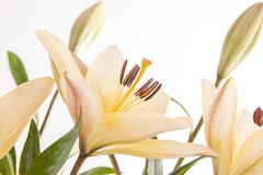 Close up of yellow lilies. Royalty Free Stock Photos