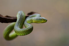 Close up Yellow-lipped Green Pit Viper snake. Trimeresurus trigonocephalus in nature from Thailand Stock Photography