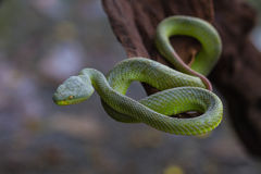 Close up Yellow-lipped Green Pit Viper snake. Trimeresurus trigonocephalus in nature from Thailand Royalty Free Stock Photo
