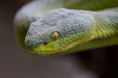 Close up Yellow-lipped Green Pit Viper snake Stock Image